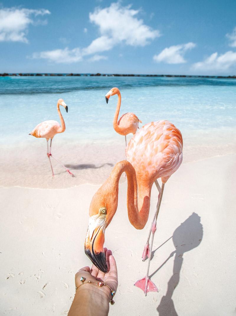 aruba-pink-flamingos-feeding