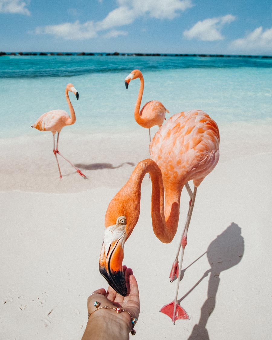feed-pink-flamingos-in-aruba-beach