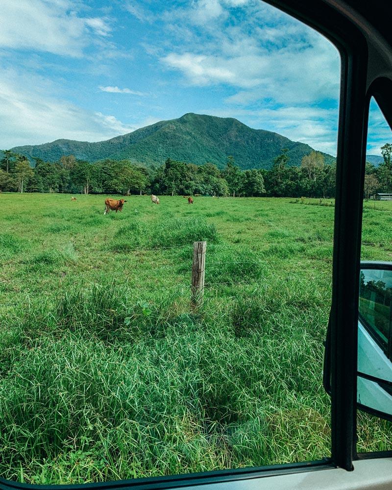 australia-road-trip-cows-van